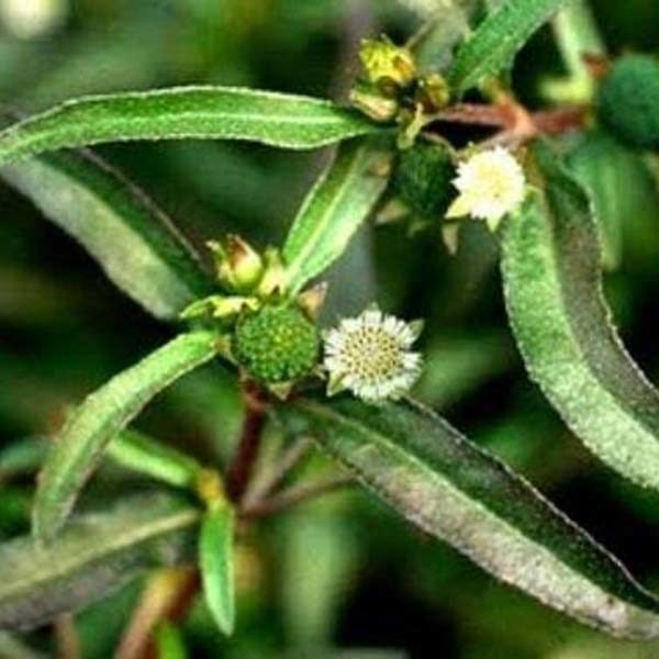 Eclipta alba plant manufacturers exporters suppliers in India