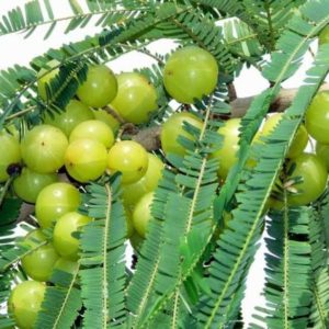 Emblica officinalis fruit manufacturers exporters suppliers in India